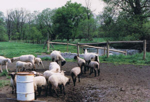 sheep farm crossing after fencing
